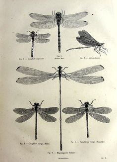 Antique dragonflies print, original 1860 odonata dragonfly french engraving…