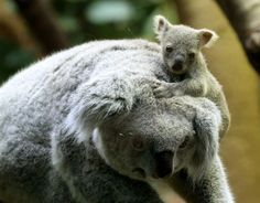 20 adorables animales bebés - Koalas