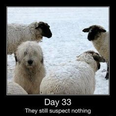 They still suspect nothing! Old English Sheepdog