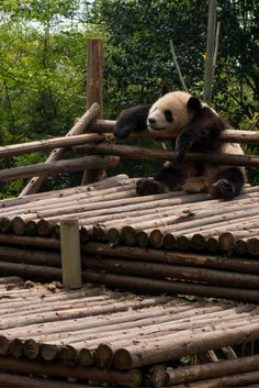 This guy cracked me up . He ate too much and passed out like this. Don't miss the Research Base of Giant Panda Breeding in Chengdu when you are in China. Put this on. your list of places to. visit in China. Photo - NOMADasaurus  #backpackingchina #travelc