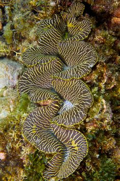 Giant clam | Flickr - Photo Sharing!