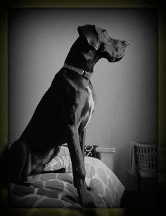 #Great #Dane #dog