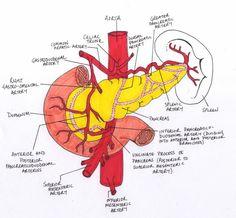 pancreas anatomy arteries