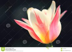 Sunlit Soft Focus Pink And White Marilyn Tulip Flower Head - Download From Over 36 Million High Quality Stock Photos, Images, Vectors. Sign up for FREE today. Image: 41391841