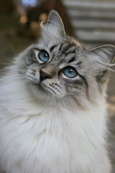 Siberian-cat-2 - picturesofcatsorg ... I always thought Samantha was part Birman, but she looks exactly like this sweet thing!