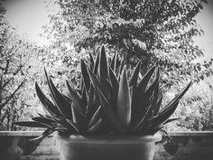Il grande carciofo  #blackandwhite #bnw #monochrome #alessandrobianchi #instablackandwhite #monoart #insta_bw #bnw_society #bw_lover #bw_photooftheday #photooftheday #bw #instagood #bw_society #bw_crew #bwwednesday #insta_pick_bw #bwstyles_gf #irox_bw #igersbnw #bwstyleoftheday #monotone #monochromatic#noir #fineart_photobw