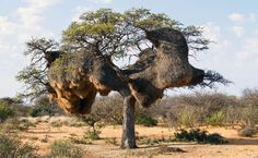 10 Totally Unusual Bird Nests From Around the World Image Nature, All Nature, Nature Tree, Amazing Nature, Weird Trees, Twisted Tree, Unique Trees, Old Trees, Exotic Plants