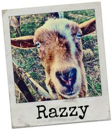 Razzy, or Razzle Dazzle as she's sometimes known, is our local troublemaker here on the farm.