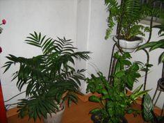 Chamaedorea Camedórea-elegante Plantae A Camedórea-elegante é uma palmeira solitária que chega a medir até 3 metros. É nativa do México, Guatemala e Belize, possuindo estipe anelado com apenas 1,2 cm de diâmetro, folhas penadas, as centrais ... Wikipédia Classificação: Espécie Classificação superior: Chamaedorea