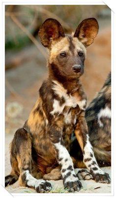 Afrika Vahşi Köpek