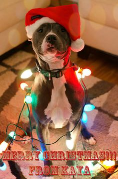 Christmas pitbull