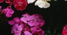Cómo quitar las flores muertas de la clavelina del cabo