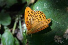 Kaisermantel 2 Schmetterling