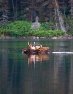 Bull moose swimming across Glenns Lake. Glacier National Park by Jeff Pang