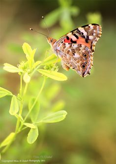 """~~Spring Butterfly """"Painted Lady Butterfly"""" by mzna al. khaled~~"""