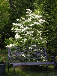 'Summer Snowflake'  Viburnum plicatum var.tomentosum