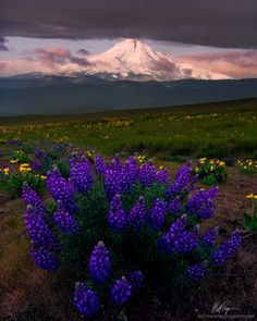 https://flic.kr/p/sa4Grz | Lupine and Mount Hood | Spring is turning out to be one of my favorite times of the year here in the Pacific Northwest. There is an abundance of wildflowers and colors that fill the landscapes here.  Let me paint this scene for you. Rain sputters off and on in the pre-dawn moments of a sleepy and crisp Sunday morning. Birds are chirping in the distance and bees are beginning their daily chores of collecting pollen on the ubiquitous flowers before you. The air is…