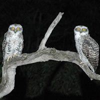 species-Ninox-strenua-22