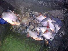 cara pemeliharaan ikan bawal