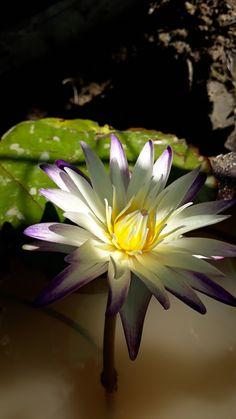 Water Flowers, Water Lilies, Lotus Flower, Flower Art, Japanese Beauty, Water Garden, Asian Art, Beautiful World, Flower Power