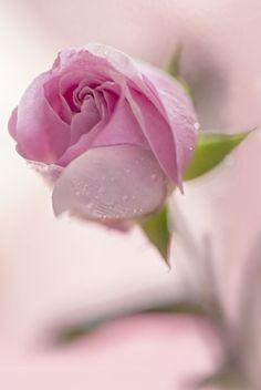 rose by Jarmila Vymazalová - Photo 273223679 / Beautiful Flowers Wallpapers, Beautiful Rose Flowers, Love Rose, Amazing Flowers, My Flower, Pretty Flowers, Beautiful Beach, Beautiful Places, Purple Roses