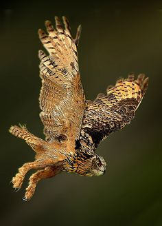 Photograph Eagle Owl taking off by Ronald Coulter on 500px