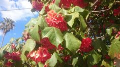 Dombeya cacuminum (Strawberry Snowball) delivering its best. Balmoral,  Sydney.
