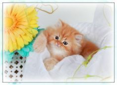 Red Persian Kittens - Superior Quality Teacup Persian Kittens For Sale