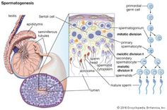 spermatogenesis [Credit: Encyclopædia Britannica, Inc. Medical Science, Medical School, Female Reproductive System Anatomy, Cell Forms, General Biology, Male Infertility, Human Anatomy And Physiology, Medical Terminology, Endocrine System