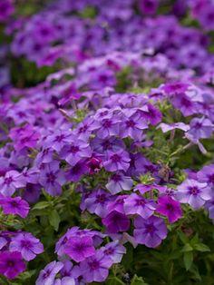 'intensia blueberry' perennial phlox