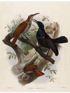 22 Magnificent Riflebird