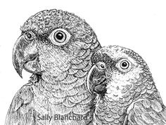 Sally Blanchard - Pen Drawing Mealy and Blue-front Amazon Buddies
