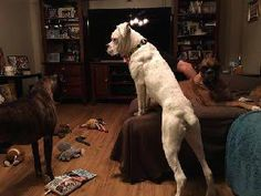 Boxer dog for Adoption in Brentwood, TN. ADN-405811 on PuppyFinder.com Gender: Male. Age: Young