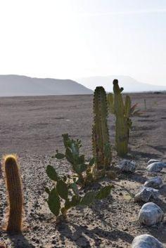 Cactus in the Nazca desert. Nazca, Peru.  #nazca #peru #travel #cactus #desert