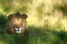 #krugerpark #wilderness #lion