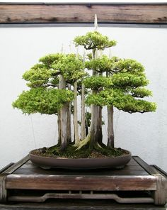 Bonsai is a Japanese art form using miniature trees grown in containers. Bonsai is plantings in tray or low-sided pot. Bonsai trees are awesome and most Buy Bonsai, Ikebana, Flowers, Japanese Garden Design, Bonsai Forest, Japanese Garden, Plants, Buy Bonsai Tree, Beautiful Tree