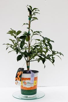 Kumquat Tree 2 ft – – Texas Grown – No Shipping to ca, fl, az, la - Modern Kumquat Tree, Chinese New Year Gifts, Meyer Lemon Tree, Sour Fruit, Plants For Hanging Baskets, Thing 1, Tree Care, Plastic Pots, Egg Shape