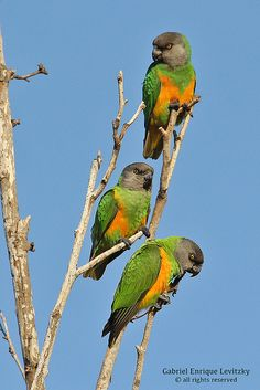 """Senegal Parrots in the wild. As a mom of a Senegal Parrot """"fid"""" (feathered kid), these parrots have a special place in my heart. Colorful Parrots, Colorful Birds, All Birds, Love Birds, Pretty Birds, Beautiful Birds, Senegal Parrot, Animals And Pets, Cute Animals"""