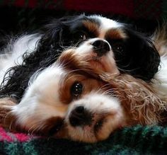 his dogs, Nicholas & Rosie, King Charles Cavalier Spaniels Spaniel Puppies, Dogs And Puppies, Doggies, Baby Dogs, I Love Dogs, Cute Dogs, Roi Charles, Cavalier King Charles Spaniel, King Spaniel
