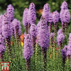 Liatris spicata plants from Thompson & Morgan - experts in the garden since 1855 Purple Flowers, Wild Flowers, Biennial Plants, Clematis Plants, Butterfly Plants, Butterflies, Hardy Perennials, Plants Online, Ornamental Plants
