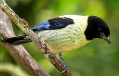 Black-headed Tanager, Tangara cyanoptera: BR/ CO/ GY/ VE