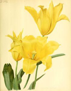 Tulipa  Golden Eagle - circa 1896.jpg