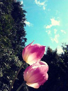Ein Tulpenhimmel von Lachkauz...