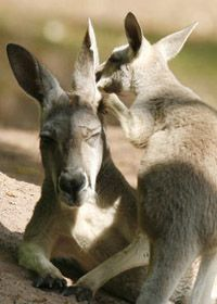 Wallaby's, Australia | Find opportunities to travel and volunteer with www.frontiergap.com | #animals