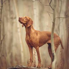 dog care,dog stuff,dog tips,dog training,dog hacks Vizsla Puppies, Weimaraner, Dogs And Puppies, Vizsla Dog, Doberman, Doggies, Cute Dogs Breeds, Dog Breeds, Wirehaired Vizsla