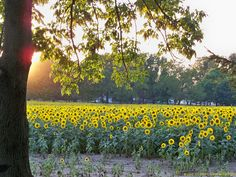 Sunflower Field Yellow Springs Ohio