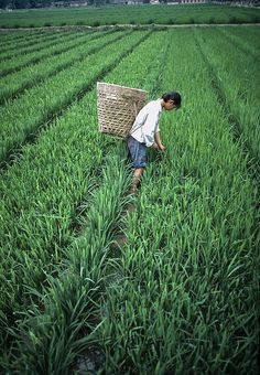 I can´t get tired from these kind of photos: Farming rice in Sichuan, China