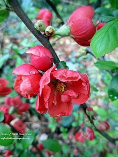 Flowering Quince Shrub (Garden of Len & Barb Rosen) You get lovely flowers and if later you get fruit,  you can make jam!!!