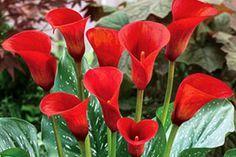 Выращивание садовых калл: терпения вам!