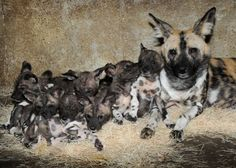 10 African Wild Dog Puppies Born at Brookfield Zoo - ZooBorns